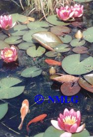 Ponds for Ornamental pond fish for sale